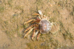 Dies crab Royalty Free Stock Photo
