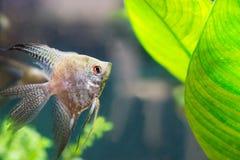 Diese Fische ziehen es vor, nahe Korallenriffen zu leben Lizenzfreies Stockfoto