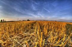 Stoppel nach Erntekorn am Sonnenunterganglicht Stockfoto