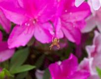 Diese harmlose orange Cat Faced Spider oder Juwel-Spinne sitzt auf seinem Netz, das unten gegenüberstellt insectidentification or lizenzfreies stockfoto