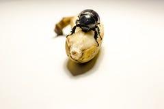 Dieser Käfer, der Banane isst Lizenzfreie Stockfotos