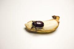 Dieser Käfer, der Banane isst Lizenzfreie Stockfotografie