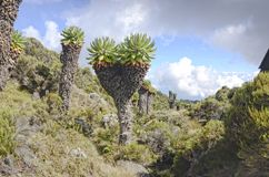 Dieser Lobelia ist zu Kilimanjaro endemisch lizenzfreie stockfotografie