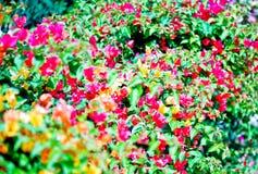 Dieses Bild ist über Blumenhintergrund, Thailand Lizenzfreie Stockfotos