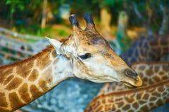 Dieses Bild ist über thailändische Giraffe, Bangkok Thailand Lizenzfreies Stockbild
