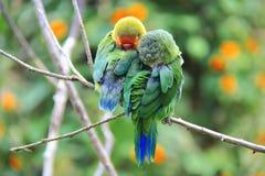 Ein paar Papageien im wilden Schlafen auf einem Baumast Stockfotografie