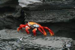 Eine niedrige Perspektive einer roten Krabbe auf dem Strand unter Felsen Lizenzfreies Stockbild