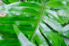 Dieses Dschungelgrün ist eine Anlage, die für gutes Design in einem Hausgarten und für das Holen mehr Sauerstoffes zurück in Ihr  Stockfotografie