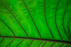 Dieses helle und warme Dschungelgrün ist ein riesiges Blatt in einer natürlichen Garteneinstellung Dieses abstrakte Bild voll des Stockbilder