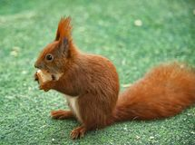Dieses hungrige rothaarige Eichhörnchen isst ein Stück Brot auf diesem grünen Rasen, weil in der Winterzeit es ein bisschen mehr  Stockfoto
