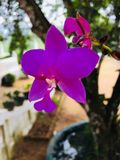 Dieses ist Bildnatur-Orchideenblume in Sri Lanka stockfotografie