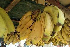 Dieses ist das Bild von gelben Bananenfrüchten, das im Bündel hängt lizenzfreie stockfotografie