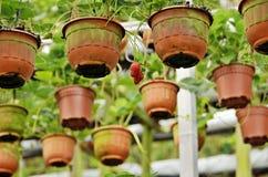 Erdbeerbauernhof Stockfoto