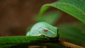 Dieses ist ein kleiner grüner Frosch, der im großen Wald von Tijuca, der Wald gefunden wird, der mitten in der großen Stadt von R stockbilder