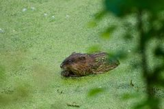 Dieses ist eine Bisamratte in einem Teich mit Algen Lizenzfreies Stockfoto