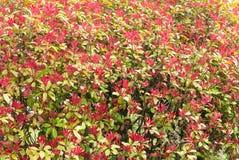 Hecke der grünen und roten Blätter sind Misch stockfoto