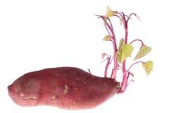 Keimung der Süßkartoffeln Stockfotos