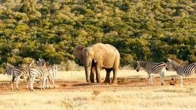 Dieses ist mein Wasser der afrikanische Bush-Elefant Lizenzfreies Stockfoto