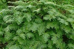 Dieses ist Polypodium cambricum, der südliche Polypody oder Waliser-Polypody Stockbilder