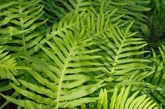 Dieses ist Polypodium cambricum, der südliche Polypody oder Waliser-Polypody Lizenzfreie Stockfotos