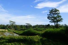 Dieses Ubud, Bali-Reisfeld stellt einige der schönsten Landschaften in den ganzen Asien dar Stockfoto