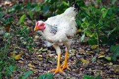 Dieses weiße Huhn geht herum mit einer heftigen Plastiktasche um seinen Hals Stockfotografie