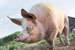 Dieses wenig Piggy stockbild