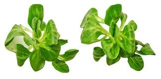 dieta zdrowa Szpinak greenfield Dla kulinarnego jedzenia dieta jest twój odosobniony obrazy royalty free