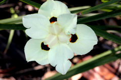 Dietes bicolor, Butterfly flag. Clump forming rhizomatous perennial with linear leaves and pale yellow flowers with three chocolate brown blotches Royalty Free Stock Images