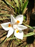 Dietes Royalty Free Stock Photography