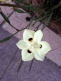Close up of Dietes Bicolor flower, known as African Iris or Fortnight Lily . Dietes is a genus of rhizomatous plants of the family Iridaceae. Common names stock photo