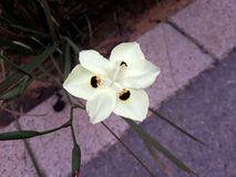Close up of Dietes Bicolor flower, known as African Iris or Fortnight Lily . Dietes is a genus of rhizomatous plants of the family Iridaceae. Common names royalty free stock image