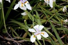 Dietes grandiflora, большая одичалая радужка, Fairy радужка Стоковое Изображение RF