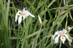 Dietes grandiflora, большая одичалая радужка, Fairy радужка Стоковые Изображения RF