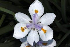 Dietes grandiflora, большая одичалая радужка, Fairy радужка Стоковые Фото