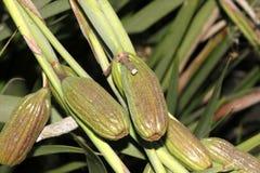 Dietes grandiflora, большая одичалая радужка, Fairy радужка Стоковое Изображение