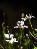 Dietes grandiflora Стоковое Фото