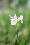 Dietes grandiflora flower Royalty Free Stock Image