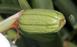 Dietes grandiflora fruit, Grote Wilde Iris, Feeiris Stock Afbeeldingen