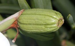 Dietes grandiflora frukt, stor lös iris, felik iris Arkivbilder