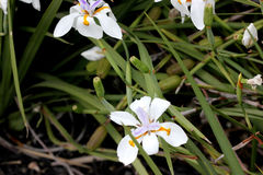 Dietes grandiflora, Large Wild Iris, Fairy Iris. Rhizomatous perennial herb with linear leaves and large white flowers with yellow patches on outer perianth Royalty Free Stock Image