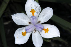 Dietes grandiflora, Large Wild Iris, Fairy Iris Stock Photo