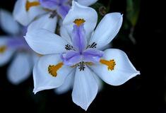 Dietes grandiflora, Large Wild Iris, Fairy Iris. Rhizomatous perennial herb with linear leaves and large white flowers with yellow patches on outer perianth Stock Photo