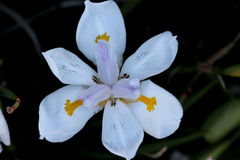 Dietes grandiflora, Large Wild Iris, Fairy Iris. Rhizomatous perennial herb with linear leaves and large white flowers with yellow patches on outer perianth Stock Photography