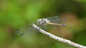 Dietro della libellula stock footage