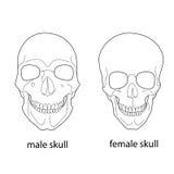 Diferencias del cráneo masculino y femenino Imagenes de archivo