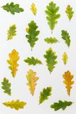 Diferente de tamaño y el color de las hojas del roble fotografía de archivo