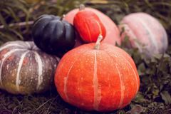 Diferentes tipos de calabazas en un fondo de la hierba Harves del otoño imagen de archivo libre de regalías