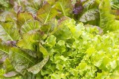 Diferentes tipos de ensalada stock images 379 photos - Diferentes ensaladas de lechuga ...