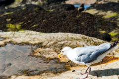Diferents views of thea seagull in St. Andrews beach in his bay, Stock Image